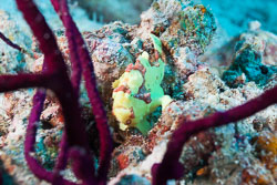 BD-150425-Maldives-8509-Antennarius-pictus-(Shaw.-1794)-[Painted-frogfish].jpg